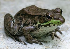 FrogGreen02